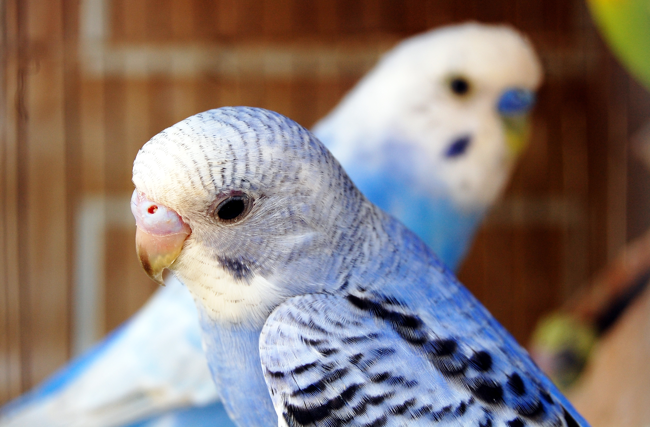 Parakeet Pictures