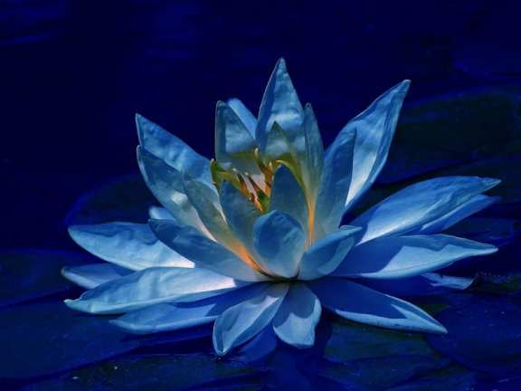 lotus-in-blue-beautiful