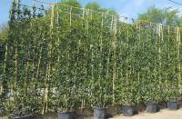 Living Screening Trees For Instant Privacy. Buy Online UK