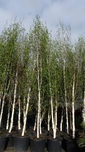 Betula Jacquemontii Himalayan Birch White Stemmed Birch Tree