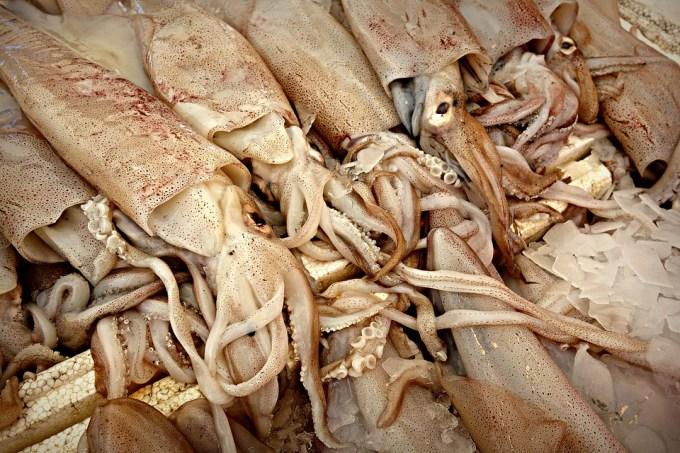 squids2