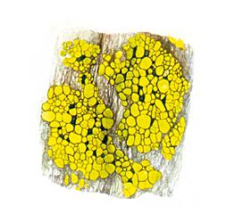 licheneCrostoso