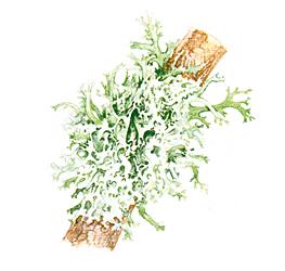 licheneFruticosio
