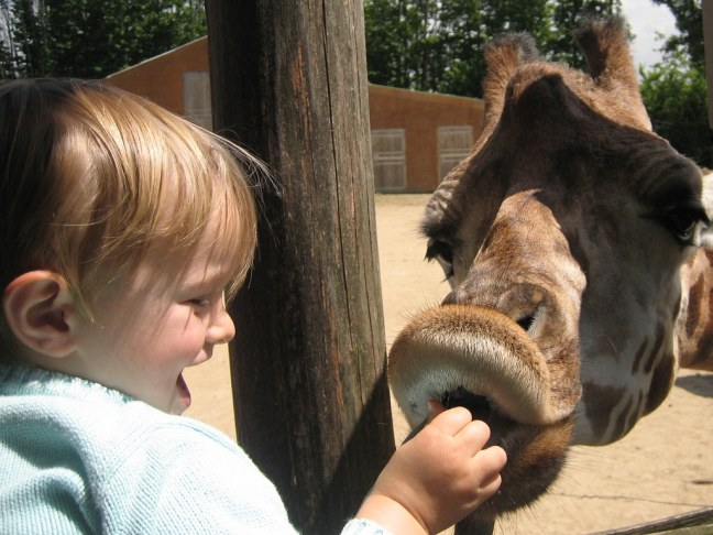 Contact avec les girafes à La Boissière-du-Doré