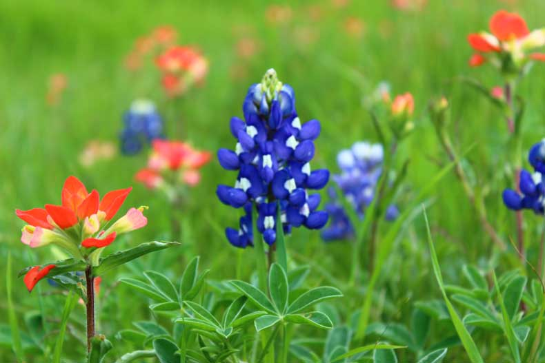 Parenthood and Passports - Texas Bluebonnets