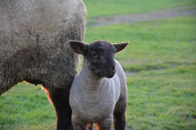 Mouton au Mont Saint Michel en famille, pointe du groin sud, gué de l'épine, baie du mont saint michel en famille, vacances en famille en normandie, destination en famille, voyage et enfant, voyager avec un bébé