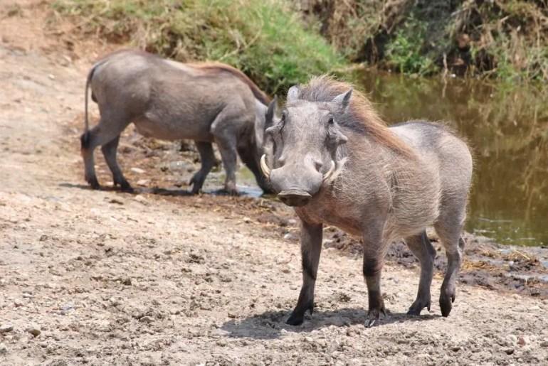 animaux dans un safari en Tanzanie
