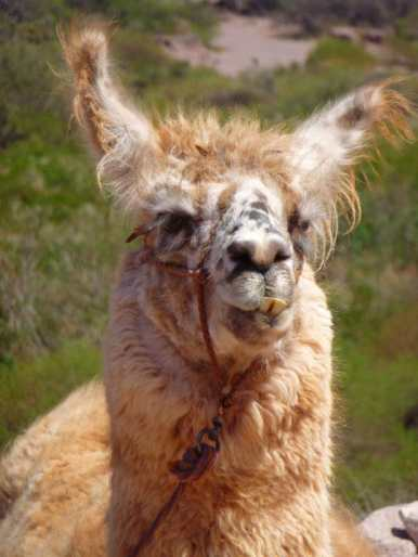 roadtrip argentine lama