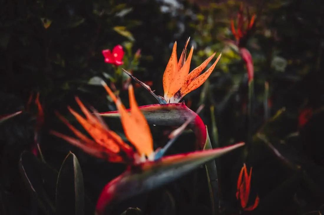 Escapades nature Guadeloupe - Oiseau du paradis