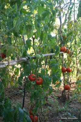 corfu-club-tomatoes