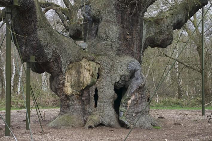 The Major Oak, Sherwood Forest, Nottingham