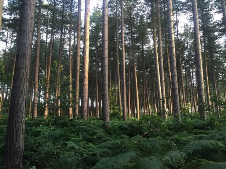 Wild Running in Sherwood Pines, Nottingham