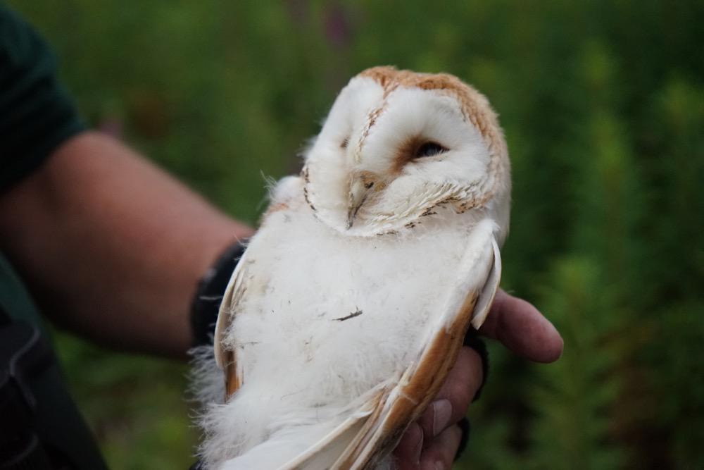 Barn Owl parentshaped.co.uk