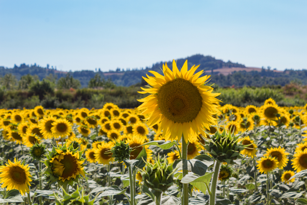 When is the best time to see Italian Sunflowers?