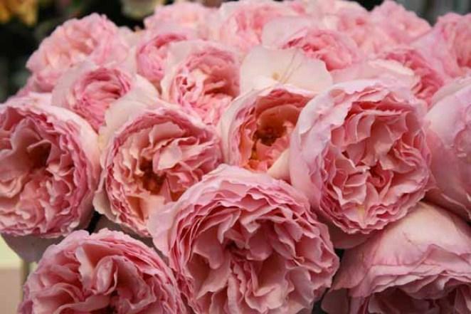 Image result for garden rose