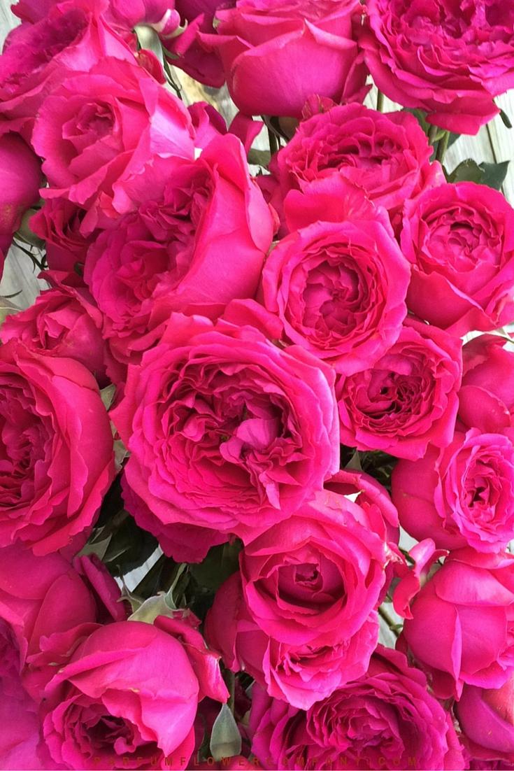 David Austin Wedding Rose Kate  Parfum Flower Company