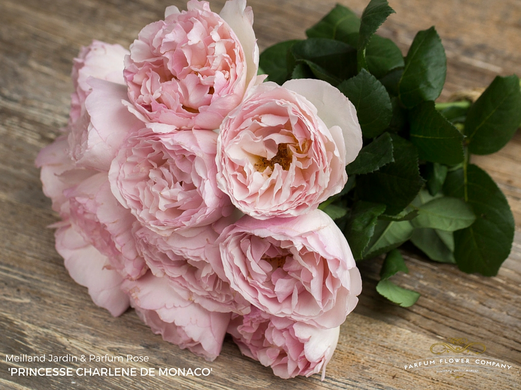 Rose Princesse Charlene de Monaco
