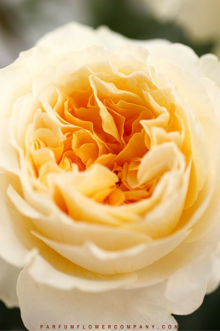 David Austin Wedding Rose Beatrice