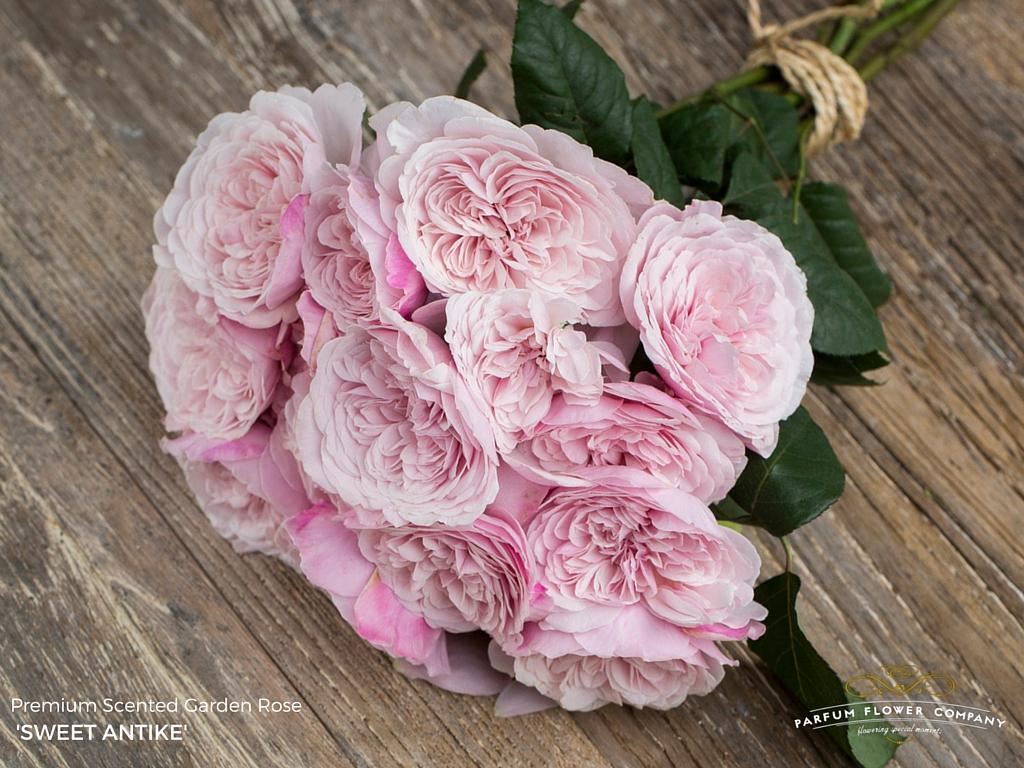 Premium Scented Garden Rose Sweet Antike