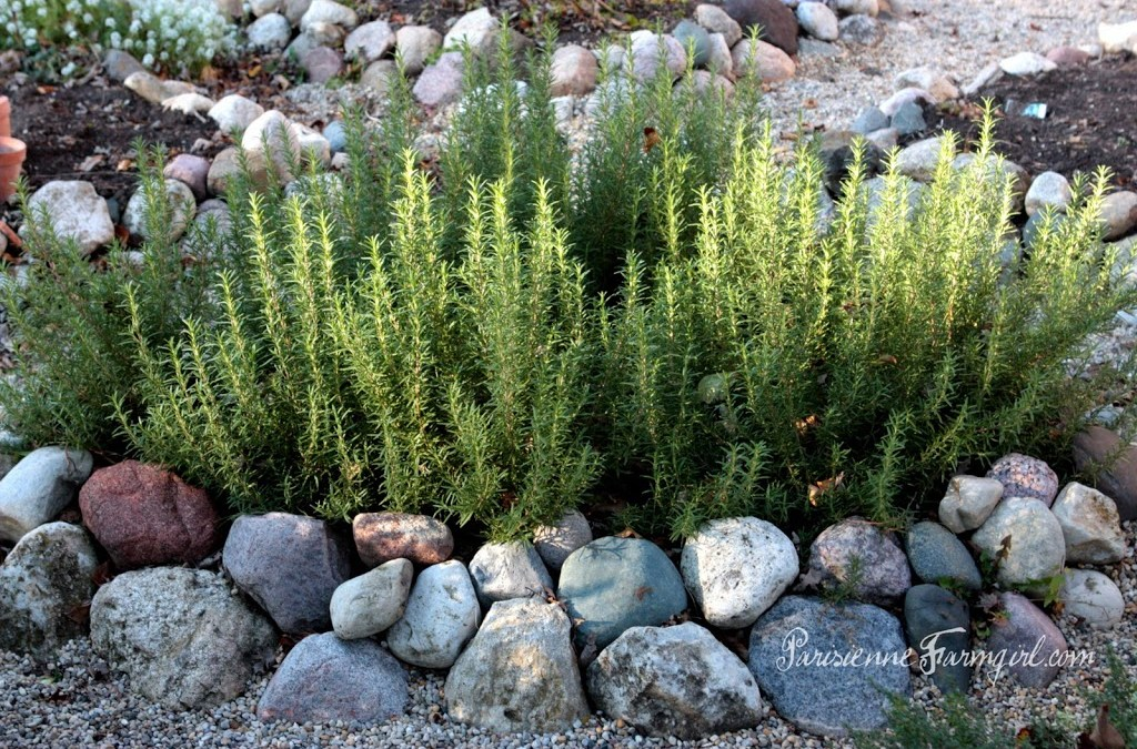 Love Grows Where my Rosemary Goes…