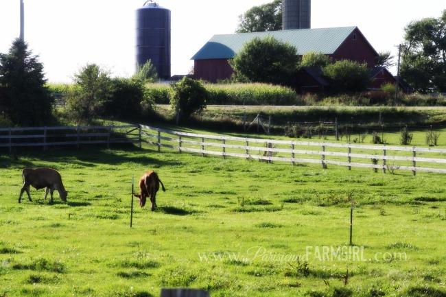 Grass fed cows milk