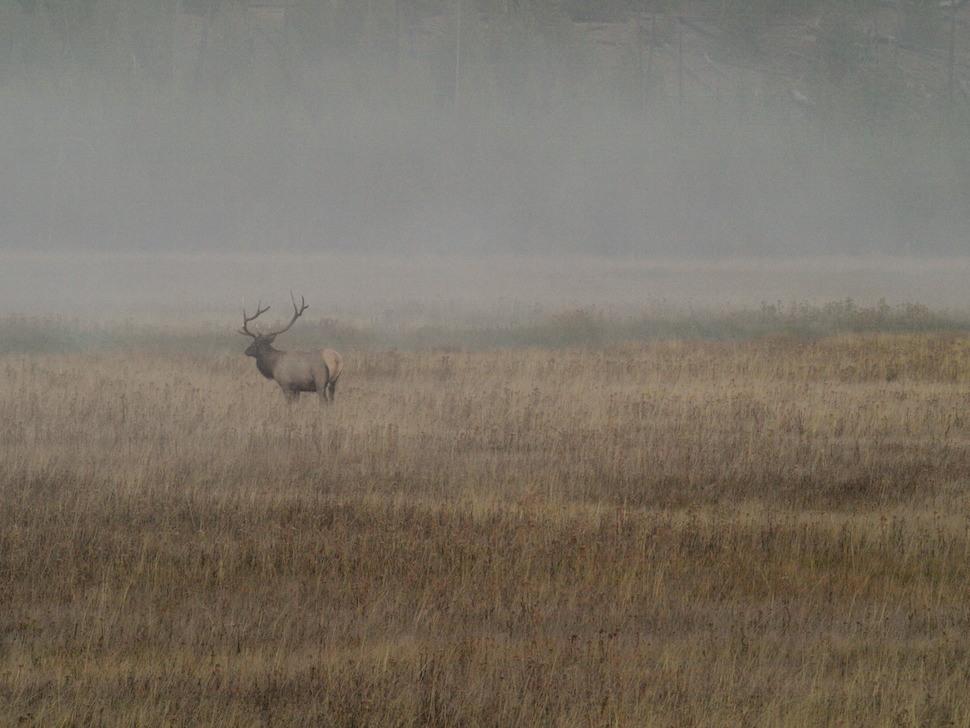 Bull Elk in foggy Rocky Mountain