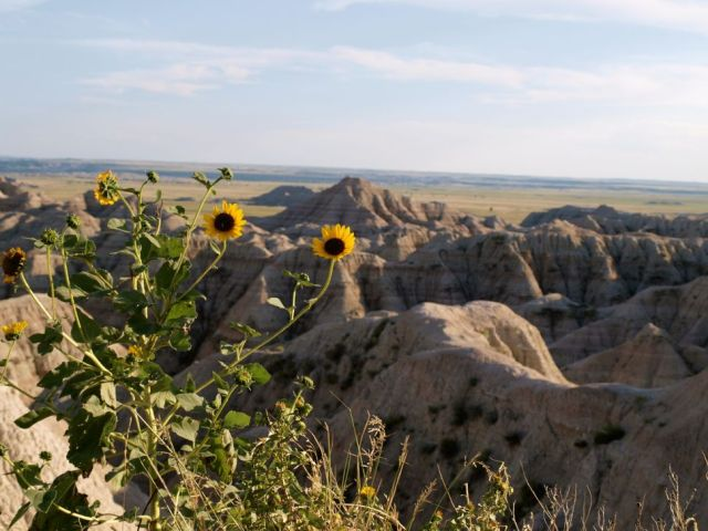 Badlands National Park Sunflowers