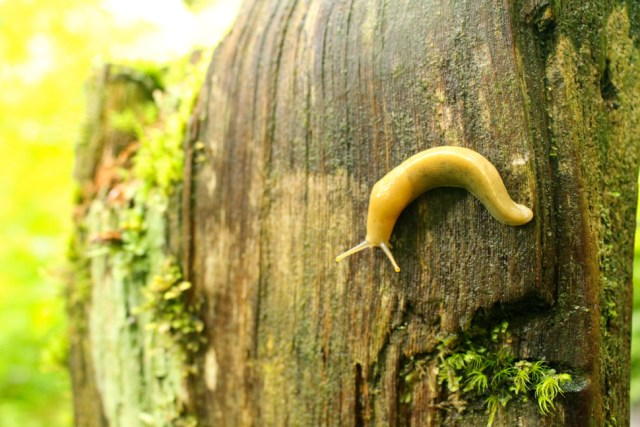 Banana Slug - Hall of Mosses Trail