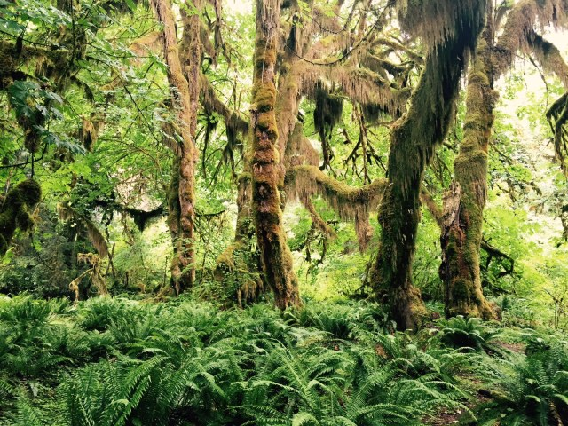 Hall of Mosses Trail - The Hoh Rain Forest - Olympic National Park