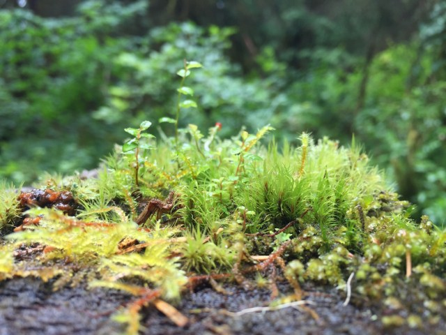 Delicate Moss Garden along the Hall of Mosses Trail