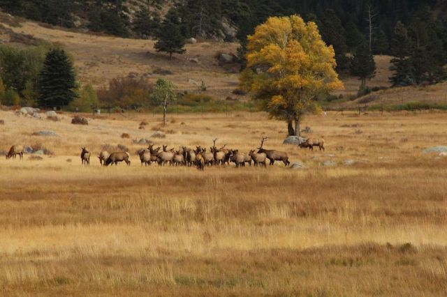 elk-herd-in-rocky-mountain