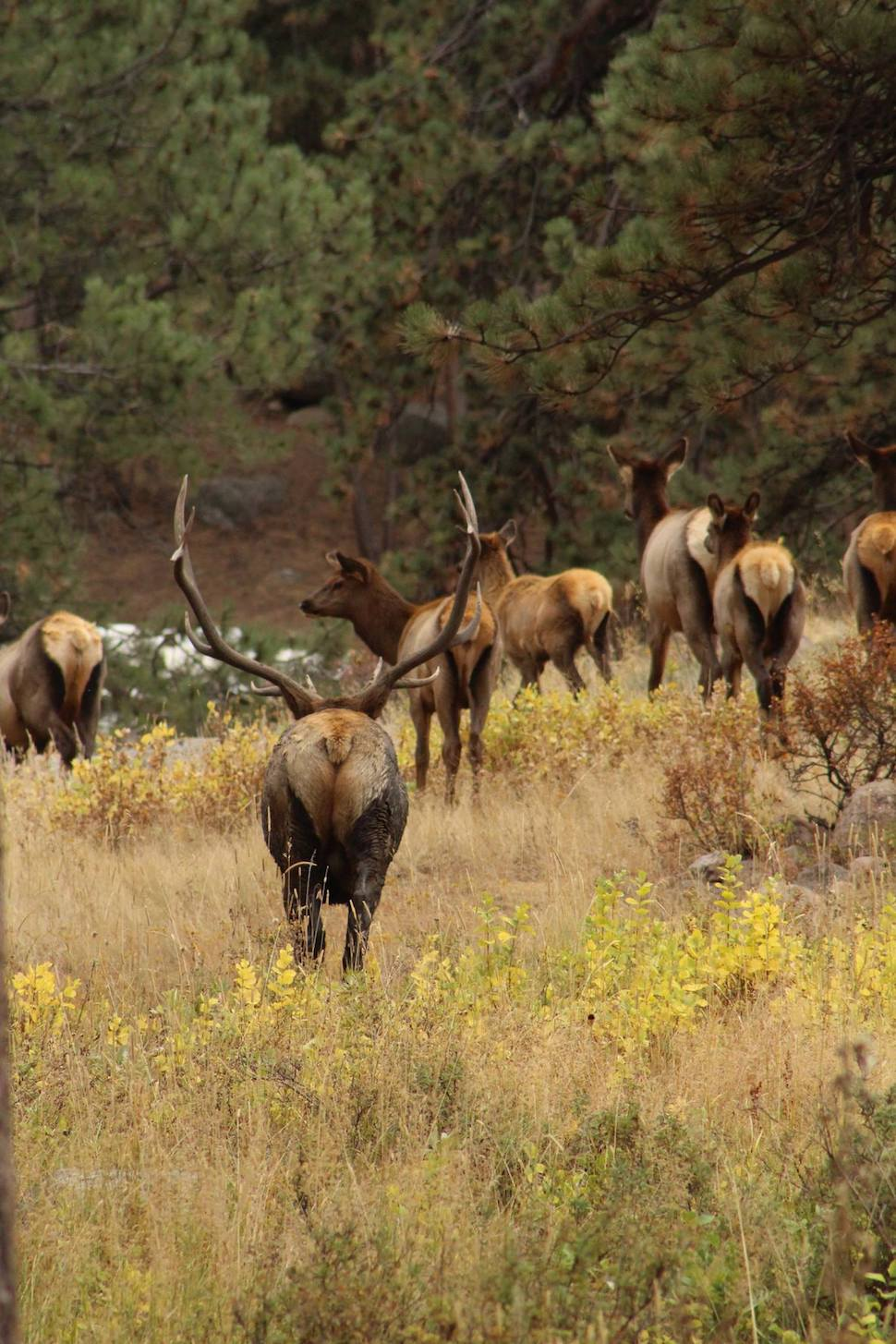3 Best Places to See Elk in Rocky Mountain National Park