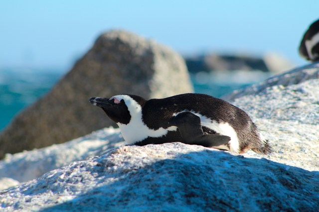 African penguin sleeping on rock at Cape Point South Africa