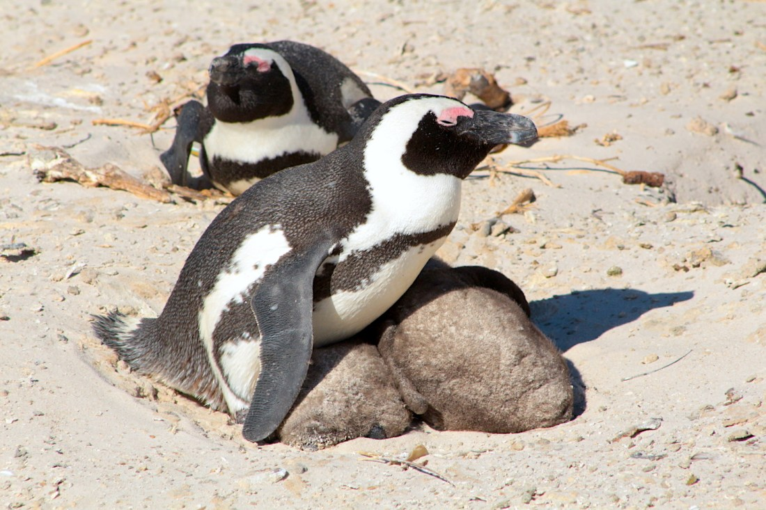 Nesting Adult African penguin with two immature baby penguins