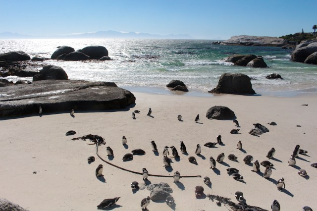 Boulder's Beach Penguin colony on the beach