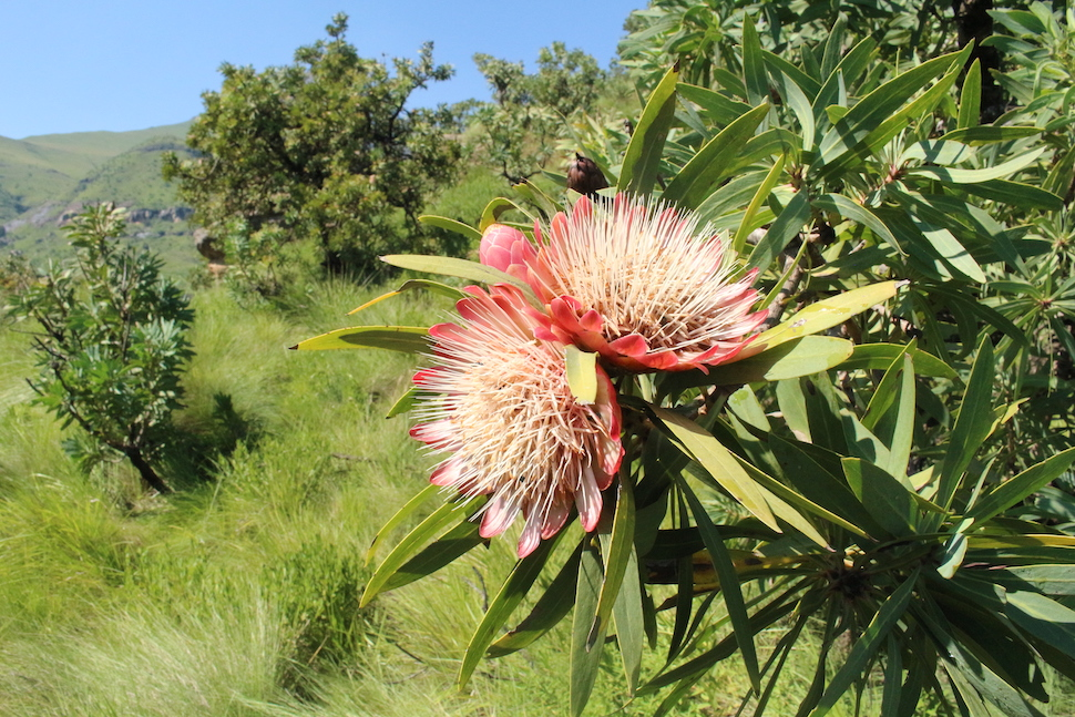 Protea along the Tugela Gorge Trail