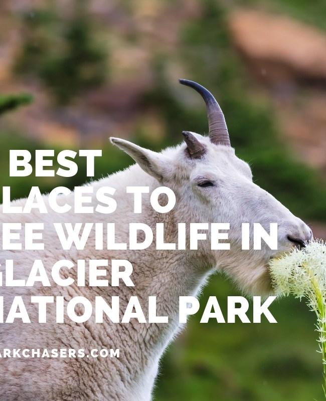 Wildlife in Glacier National Park