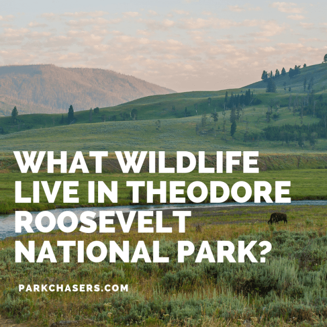 What Wildlife Live in Theodore Roosevelt National Park