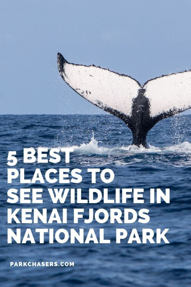 The 5 Best Places to see Wildlife in Kenai Fjords National Park