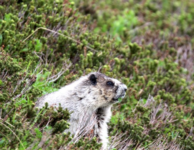 Hoary Marmot, some of the wildlife in Kenai Fjords National Park