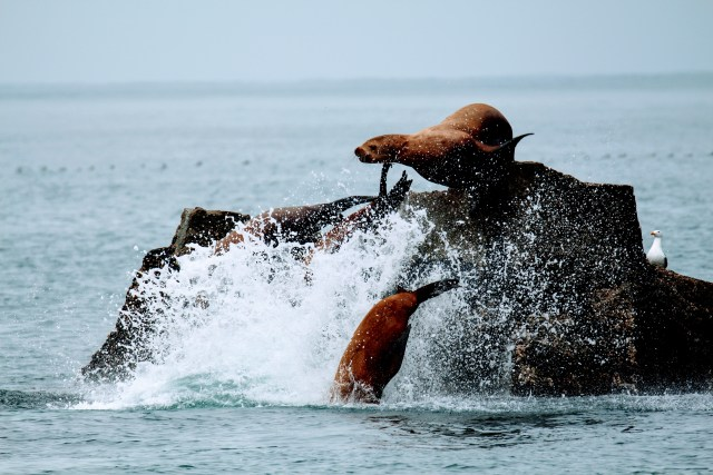Sea Lions - Kenai Fjords Boat Tours