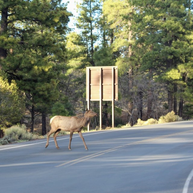 Elk in Grand Canyon NP