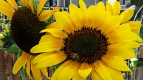 sunflower a great xeroscaping choice for parker co gardens