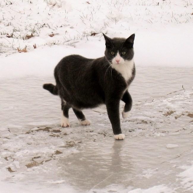 Tuxedo cat on ice