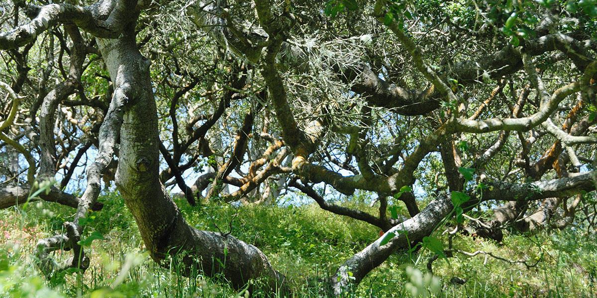 coast live oak golden