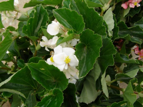 babywing white begonia - parks