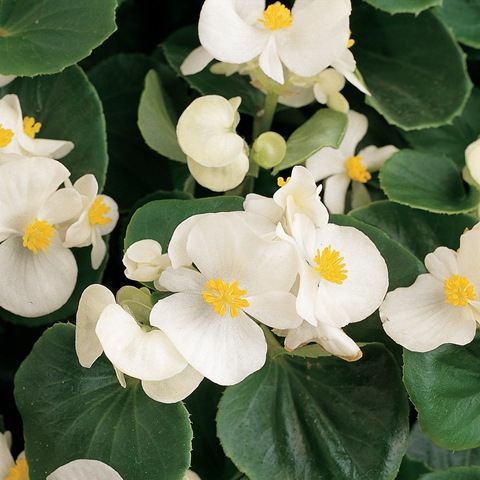 green white begonia - parks