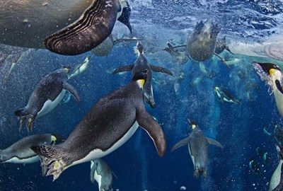 © Paul Nicklen, Bubble-jetting emperors