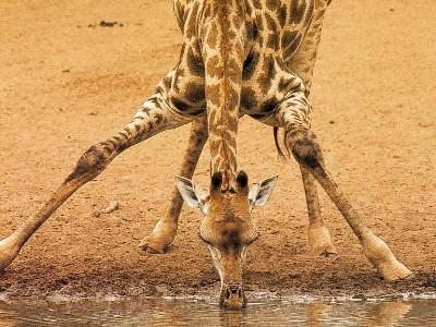 giraffa3