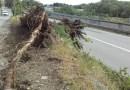 Forte vento. Un grosso albero cade sulla provinciale della val Ceno.